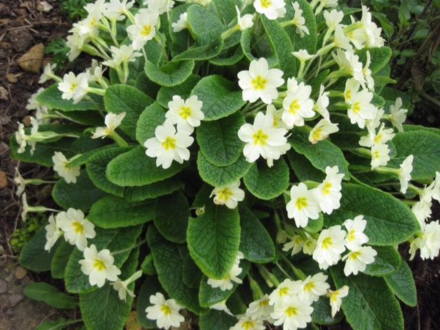 primroses reduced